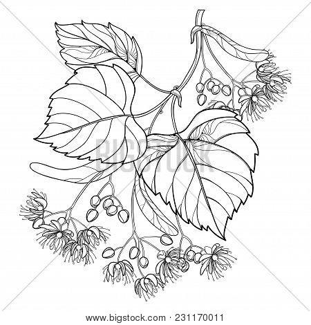 Vector Outline Linden Or Tilia Or Basswood Flower Bunch, Bract, Fruit And Ornate Leaf In Black Isola