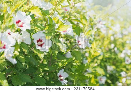 White Hibiscus Syriacus Flowers Wall On A Sunny Day
