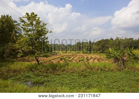 Harvested Rice Crop In Rural Sri Lanka In The National Park Of Wasgamuwa Under A Blue Sky With Fluff