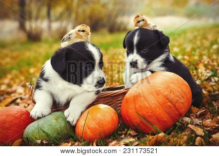 Funny Welsh Corgi Pembroke Puppies Dogs And Chicken Posing With Pumpkins On An Autumn Background