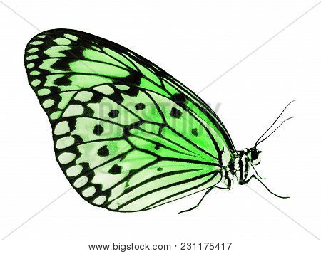 A Paper Kite Butterfly, Rice Paper Butterfly Or Large Tree Nymph, Idea Leuconoe, The Big White Butte