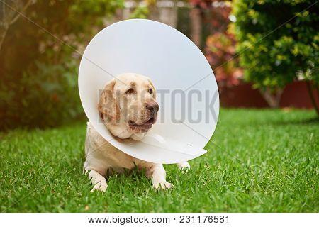 Sad Labrador Dog With Cone Collar On Neck