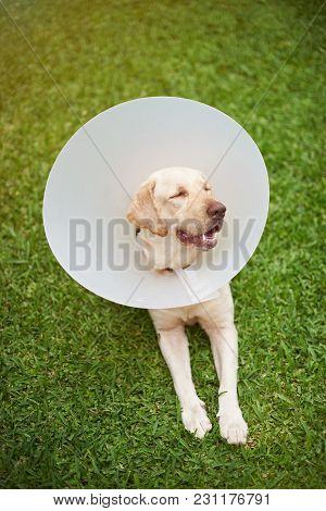 Dog With Collar Cone Relax On Green Grass Background