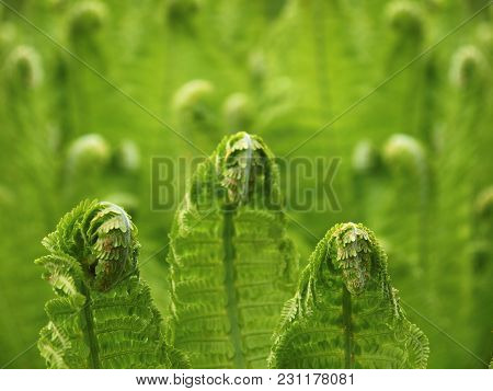 Young Springs Of The Shuttlecock Fern, Or Ostrich Fern, Matteuccia Struthiopteris, On Blurred Green