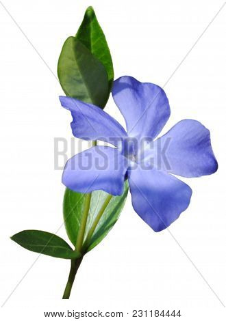 An Isolated, Small Blue Flower On A White Background.  Or Png.