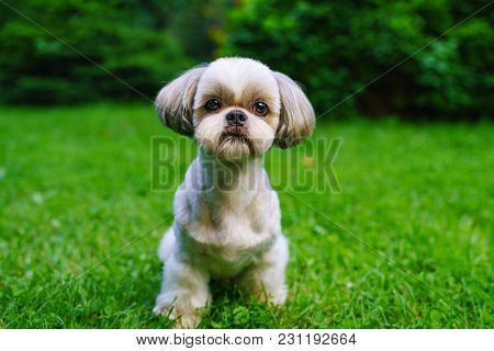Shih tzu dog with short haircut portrait on green lawn background