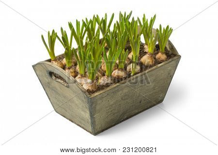 Wooden box with growing muscari bulbs