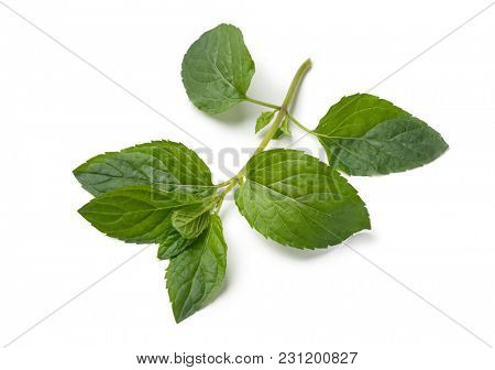 Twig of fresh green chocolat mint isolated on white background