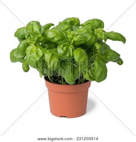 Brown plastic pot with fresh basil isolated on white background