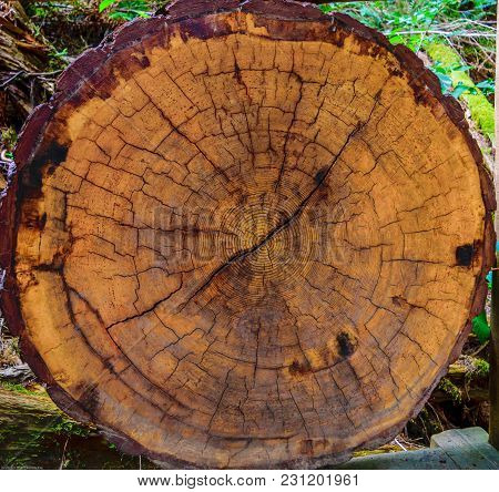Old Forest Cut Tree With Age Rings