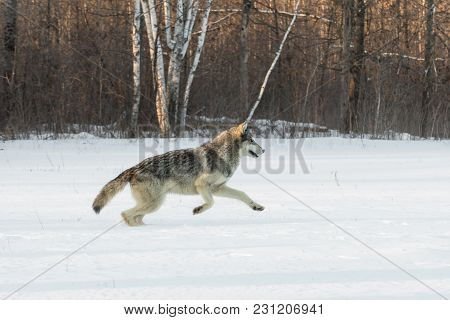 Grey Wolf (canis Lupus) Leaps Right In Field - Captive Animal
