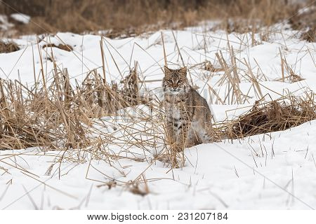 Bobcat (lynx Rufus) Sits In Grasses - Captive Animal