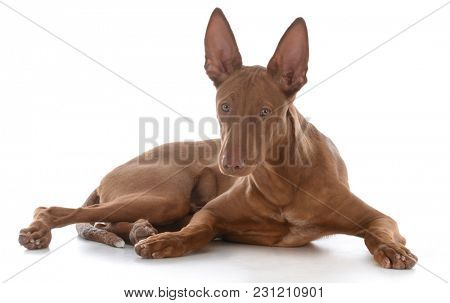 male pharoah hound on white background