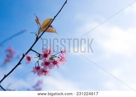 Royalty High Quality Free Stock Image Of Cherry Blossom Sakura (prunus Cesacoides, Wild Himalayan Ch