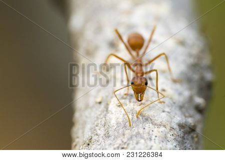 Red Or Yellow Ant Look At The Camera. Ants Are Signaling Fear To The Enemy If They Are Near May Hurt
