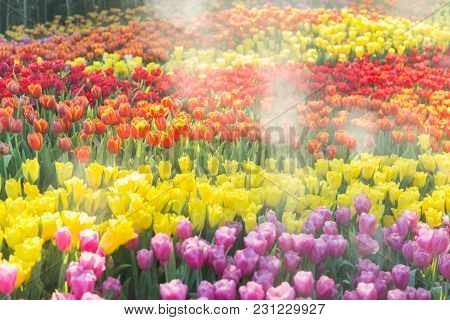 Tulip Flower. Beautiful Tulips Flower In Tulip Field At Winter Or Spring Day. Colorful Tulips Flower