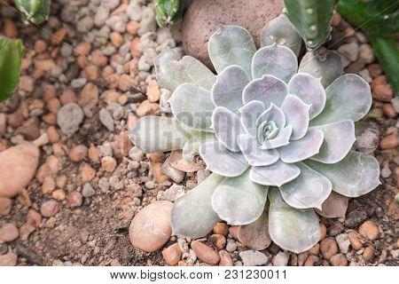 Succulents Cactus In Desert Botanical Garden. Succulents Cactus For Decoration. Cactus Succulents In