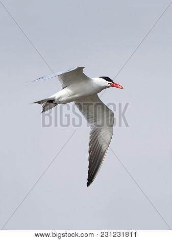 Caspian Tern In Flight With Blue Skies In Hte Background