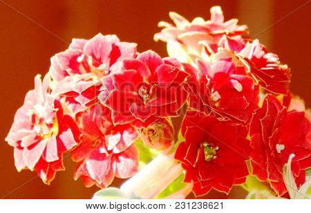 Suddenly A Beautiful Bouquet Of Kalanchoe Flowers. Small And Inconspicuous They Can Surprise.