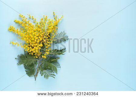 Yellow Mimosa Flowers On Blue Wooden Background