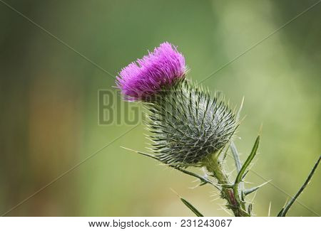 close up of a milk thistle plant with the flower blooming on top of thorns