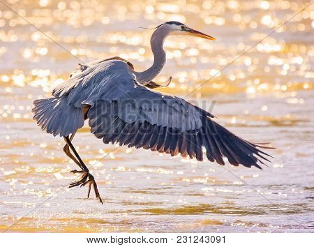 beautiful great blue heron flying over the water in a local wildlife park after fishing