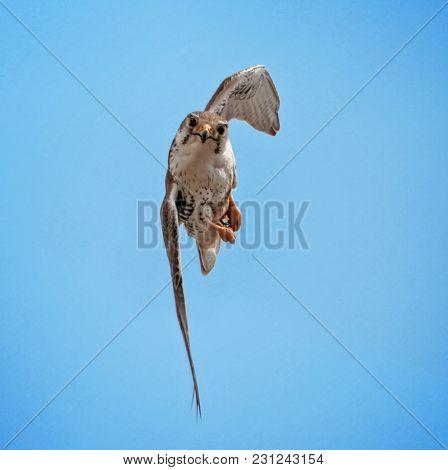 cute photo of a prairie falcon flying sideways