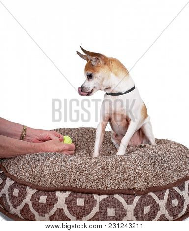 cute rat terrier chihuahua mix sitting on a pet bed looking at a tennis ball