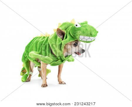 cute chihuahua dressed in a dinosaur costume isolated on a white background