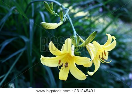On The Long Hung Runaway Of A Hemerocallis There Are Not Open Buds And Two Beautiful Flowers Of Yell