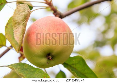 Ripe Red Apple On Tree In Sunny Day With Green Natural Blurred Background.  Shallow Depth Of Field