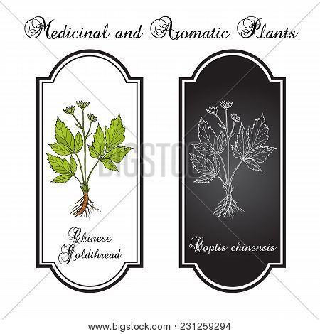 Chinese Goldthread Coptis Chinensis , Medicinal Plant. Hand Drawn Botanical Vector Illustration