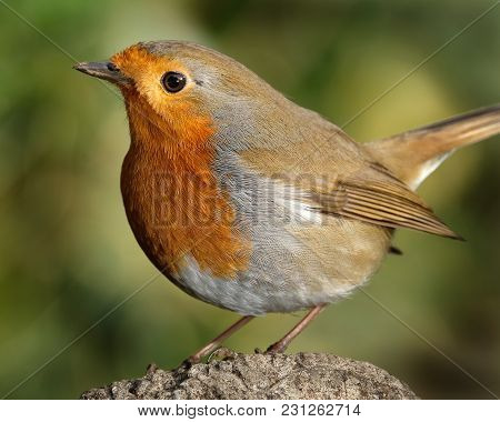 Robin In Urban Garden In Winter Conditions.