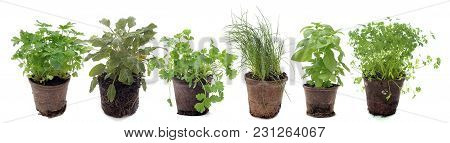 Aromatic Plants In Pot In Front Of White Background