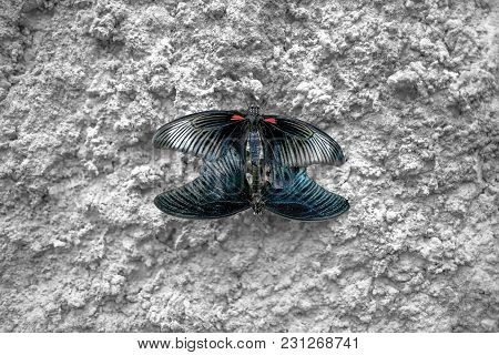 Mating Butterflies. Two Butterflies On Concrete Wall. Papilio Polytes. Mormon Butterfly