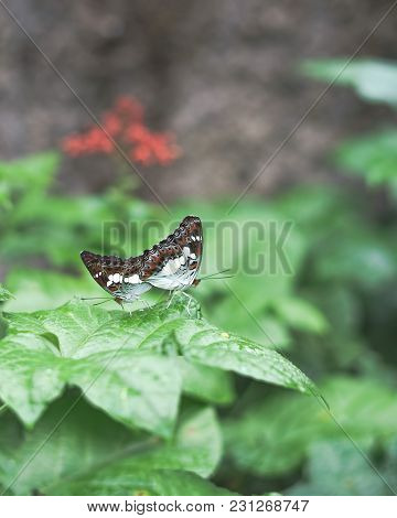 Two Butterflies Mating While Perching On Leaves. Limentis Populi. Poplar Admiral Butterfly