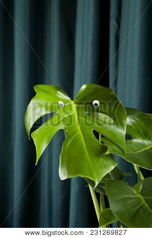 Quirky And Freak Monstera Deliciosa Plant With Numerous Eyes On A Green Curtain Background. Gradient