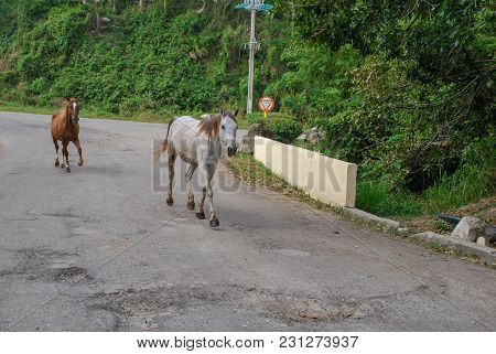 Two Horses Walking On Roadway In Cuba