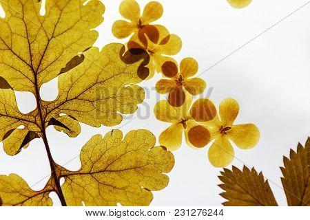 Set of herbarium wild dry pressed flowers and leaves