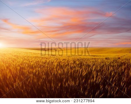 Field of yellow wheat in sunset. Location rural place of Ukraine, Europe. Ecological production of natural products. Scenic image of beautiful nature landscape, amazing morning view. Beauty of earth.