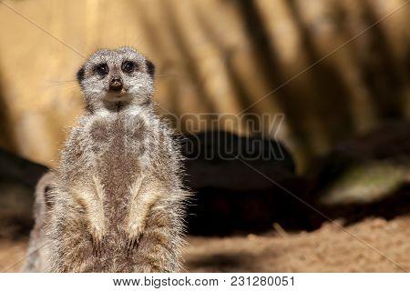 Tired Pregnant Meerkat (suricata Suricatta) On Duty. Cute Animal Looking At Camera. African Wildlife