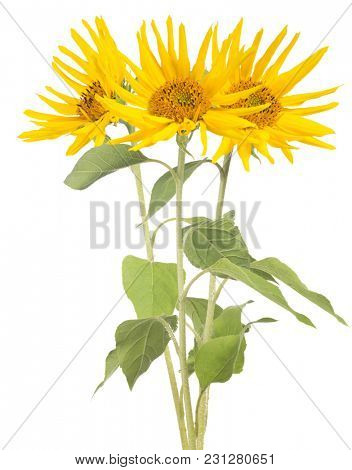 bunch of three sunflowers isolated on white background