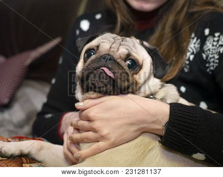 A Small Dog With Tongue Sticking Out Sitting On Female Hands
