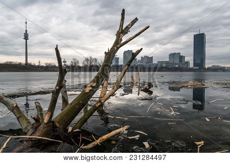 Tree Branches Chopped By Beavers In A Partly Frozen River, Neue Donau Vienna Austria