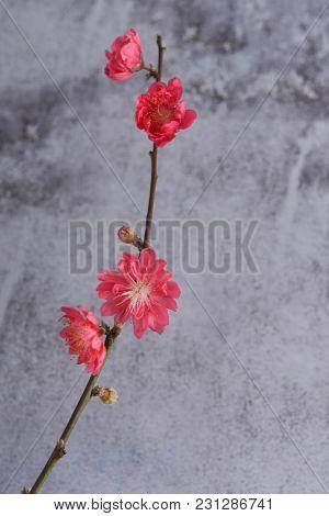 Red Peach flower Sakura cherry blossom isolated on gray background