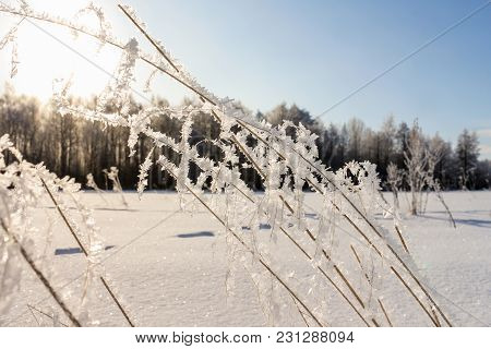 Hoarfrost On Dry Grass. Winter Nature Under Snow On A Sunny Day.