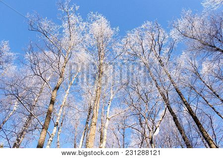 Hoarfrost On The Tops Of Trees. Winter Nature Under Snow On A Sunny Day.