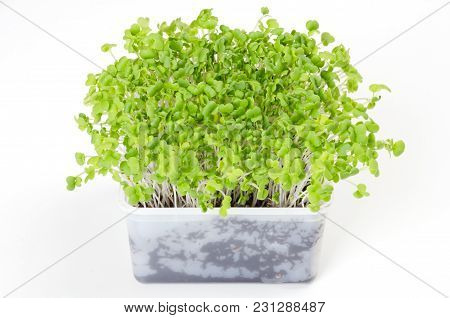 Mizuna Microgreen In White Plastic Container. Green Shoots Of Japanese Mustard Greens, Kyona Or Spid