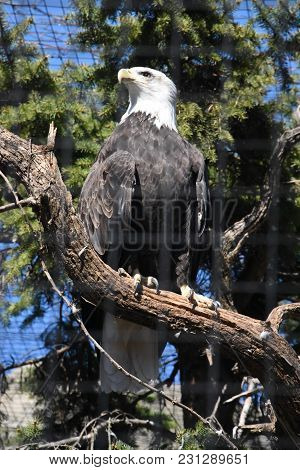 Bald Eagle Perched On A Tree Branch In An Enclosure