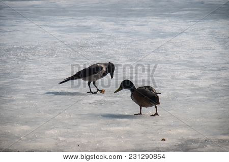 Hooded Crow Stole A Piece Of Bread From A Wild Duck (corvus Cornix)